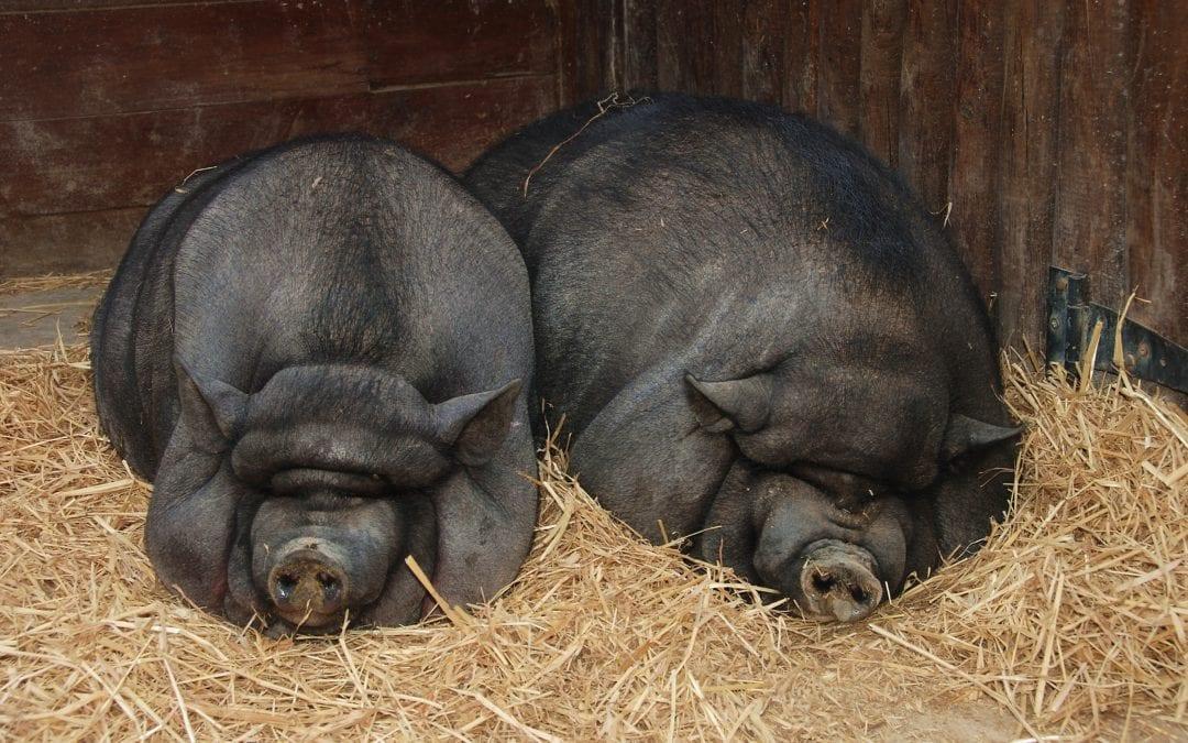 """🔊 Anna Carbonell: """"L'origen de la problemàtica dels porcs vietnamites és la falta d'implicació de les administracions"""""""